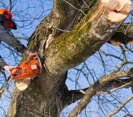 Felling av store trær