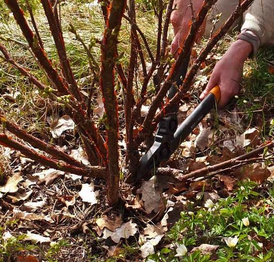 Beskjæring av busker